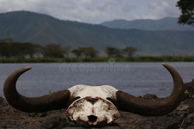 African buffalo skull with horns. I shot this braincase in Ngorongoro crater in Tanzania, Africa. This death head or cranium from buffalo, which is a largest royalty free stock images