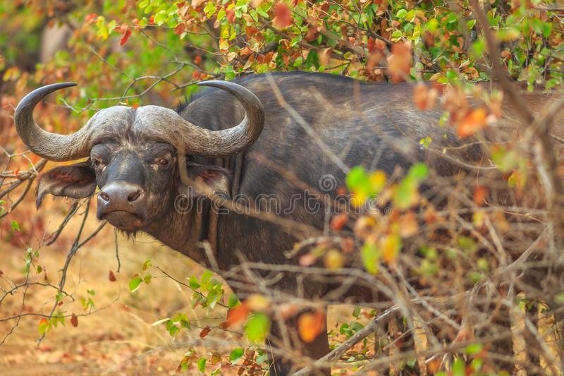 African buffalo South Africa stock image
