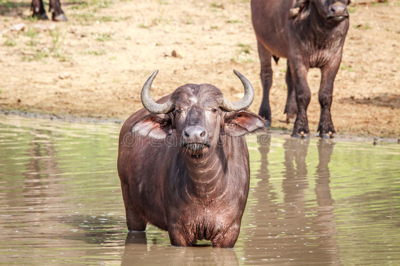 Download African Buffalo Standing In The Water. Stock Image - Image: 83723845