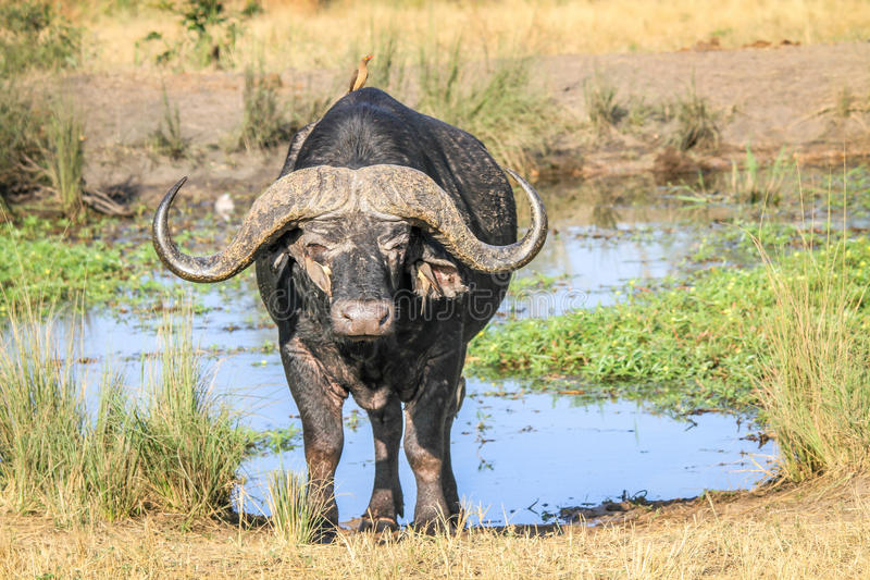 Download African Buffalo Starring At The Camera. Stock Photo - Image: 83724664