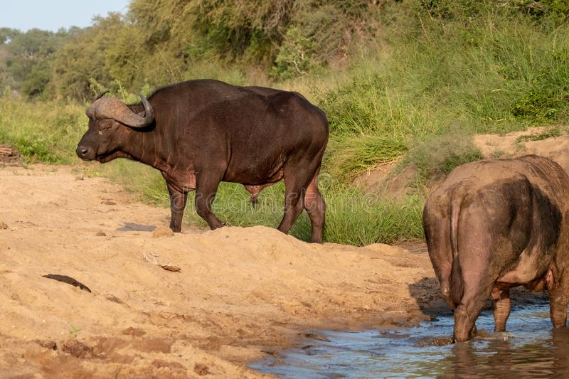 African Buffalo by the water in the late afternoon sun, photographed at Kruger National Park in South Africa. African Buffalo in the late afternoon sun stock photography