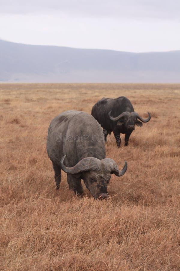 African Buffalos royalty free stock image