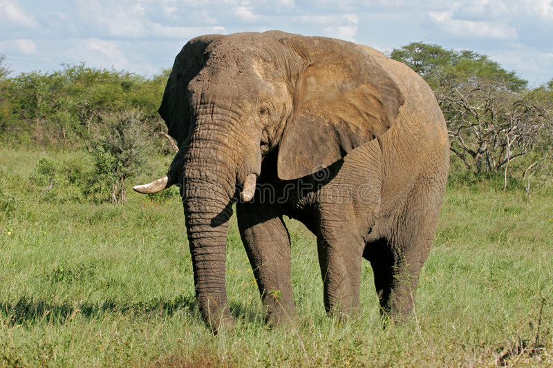 African bull elephant royalty free stock images