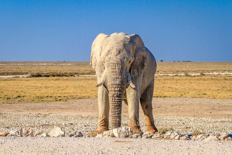 African bull elephant in Etosha National Park, Namibia, Africa royalty free stock images