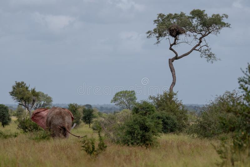 African bull elephant flapping its ears in the bush at Kruger National Park, South Africa. stock image