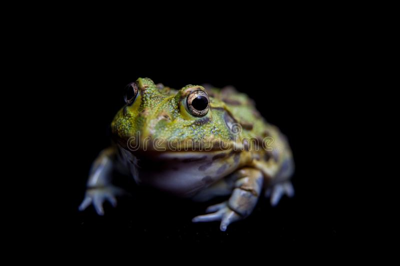 The African bullfrog on black royalty free stock photos