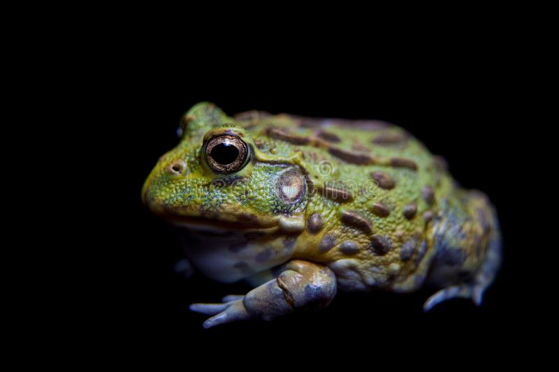 The African bullfrog on black royalty free stock images