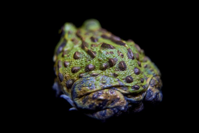 The African bullfrog on black royalty free stock photo