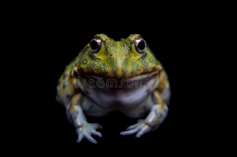 The African bullfrog on black royalty free stock image