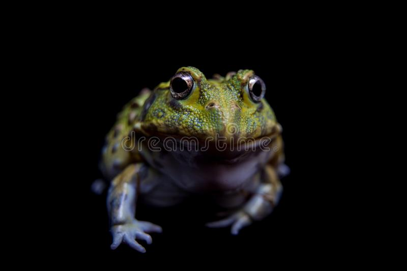 The African bullfrog on black royalty free stock photography