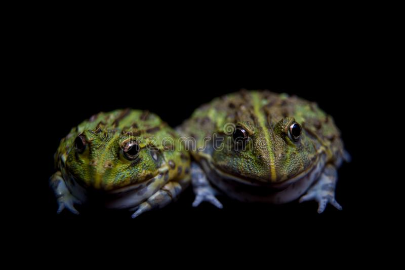 The African bullfrog on black stock photography