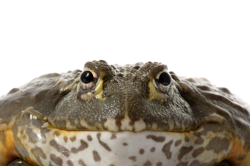 African Bullfrog/Pixie Frog stock images