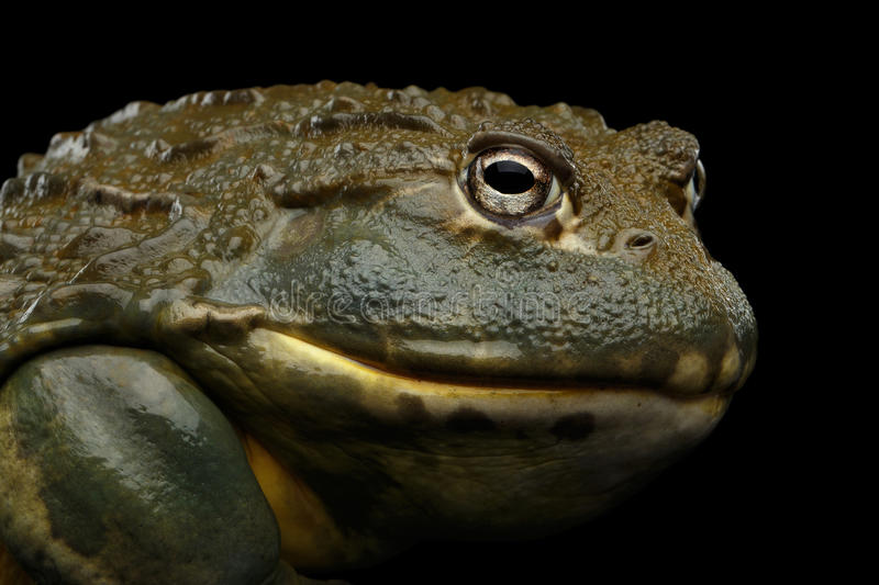 African bullfrog Pyxicephalus adspersus Frog isolated on Black Background royalty free stock images