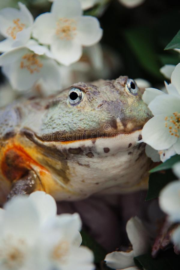 The African bullfrog, adult male with philadelphus flower bush stock image