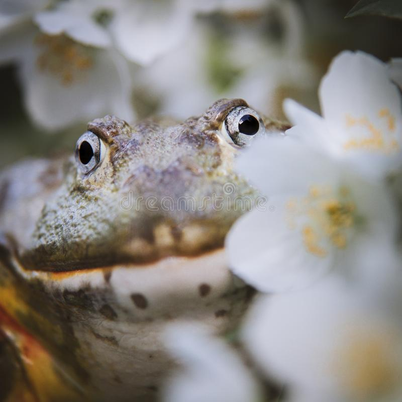 The African bullfrog, adult male with philadelphus flower bush royalty free stock photography