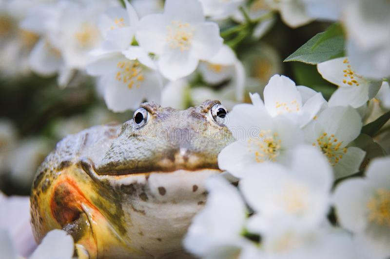 The African bullfrog, adult male with philadelphus flower bush royalty free stock photos