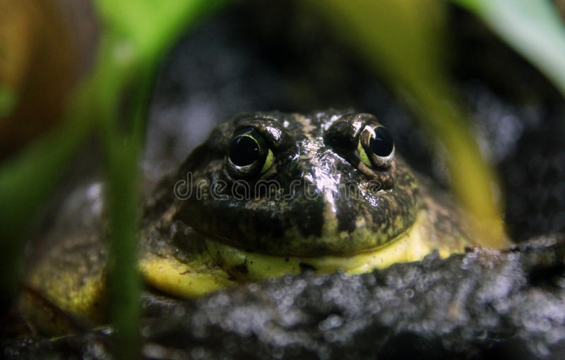 African Bullfrog, staring from hiding place stock photo