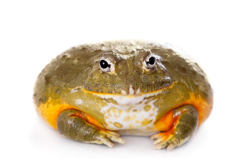 The African bullfrog on white. The African bullfrog, Pyxicephalus adspersus, isolated on white background royalty free stock photo