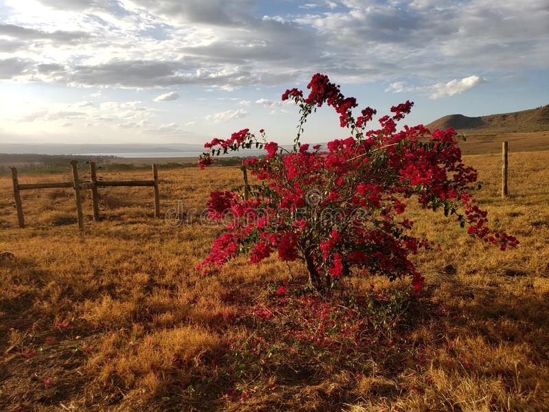 African Bush bougainvillea at sunset with Lake Nakura in the distance royalty free stock photo