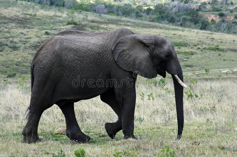 African Bush Elephant, Botlierskop Reserve, South Africa royalty free stock image
