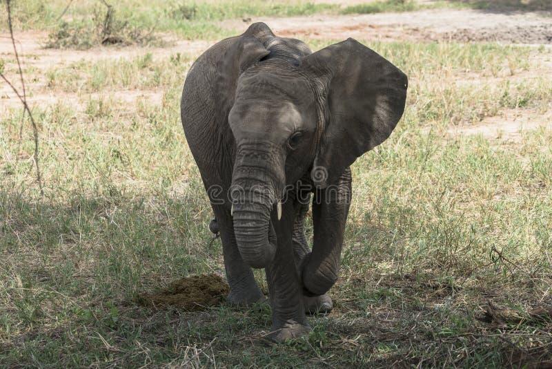 African Bush elephant stock images
