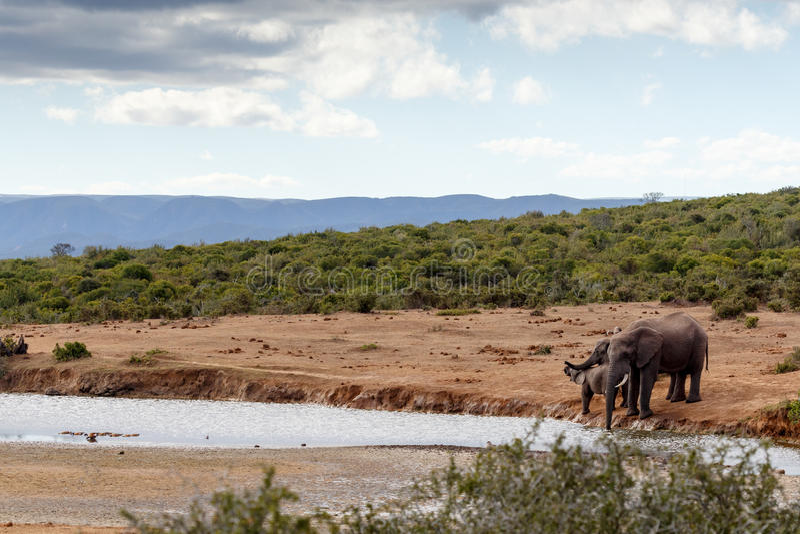African Bush Elephant family drinking royalty free stock image