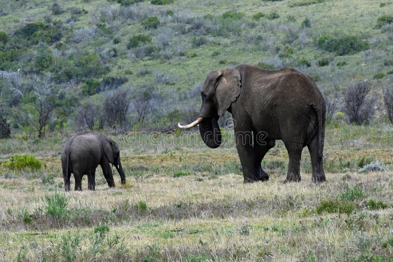 African Bush Elephants, Botlierskop Reserve, South Africa royalty free stock images