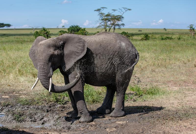 An African Bush Elephant having a mud bath royalty free stock images