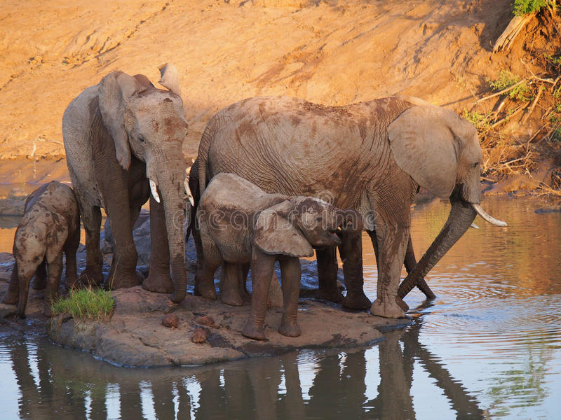 African bush elephant. Herd of African bush elephants with young calves lit with orange light from the setting sun as they drink from a waterhole. Madikwe Game stock photos