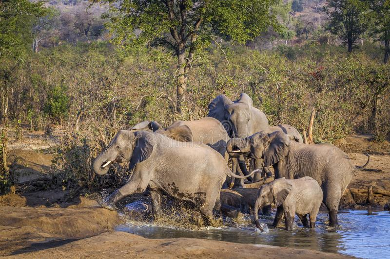 African bush elephant in Kruger National park, South Africa. Specie Loxodonta africana family of Elephantidae royalty free stock images