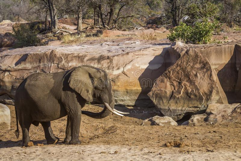 African bush elephant in Kruger National park, South Africa. Specie Loxodonta africana family of Elephantidae royalty free stock image