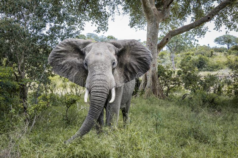 African bush elephant in Kruger National park, South Africa royalty free stock photo