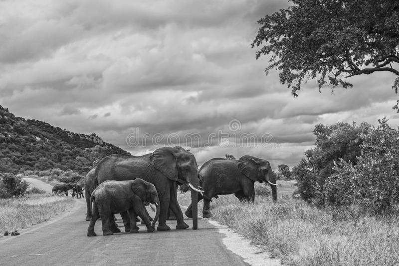 African bush elephant in Kruger National park, South Africa. African bush elephant small herd crossing the road in Kruger National park, South Africa ; Specie royalty free stock images
