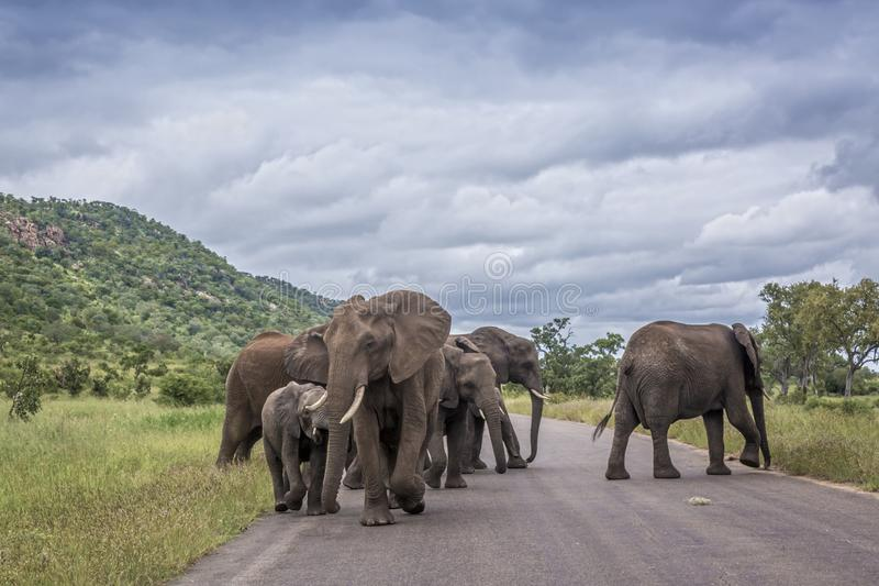 African bush elephant in Kruger National park, South Africa. African bush elephant small herd on the road in Kruger National park, South Africa ; Specie stock photos