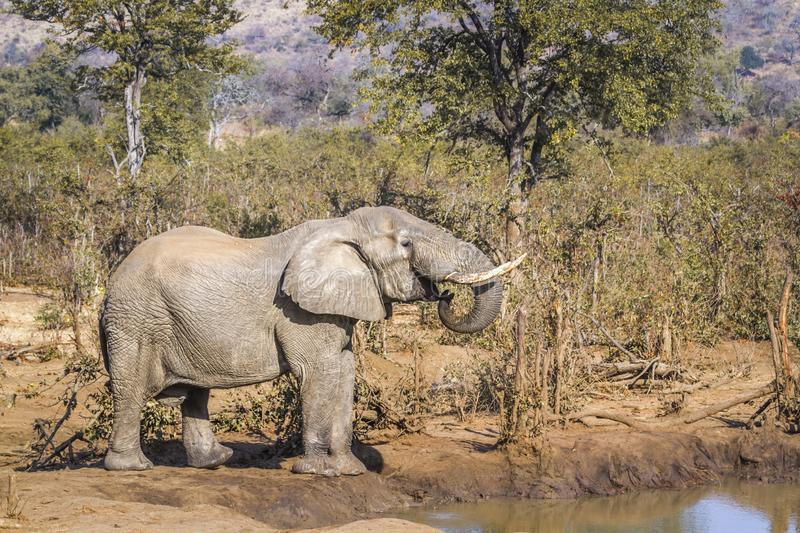 African bush elephant in Kruger National park, South Africa. Specie Loxodonta africana family of Elephantidae stock images