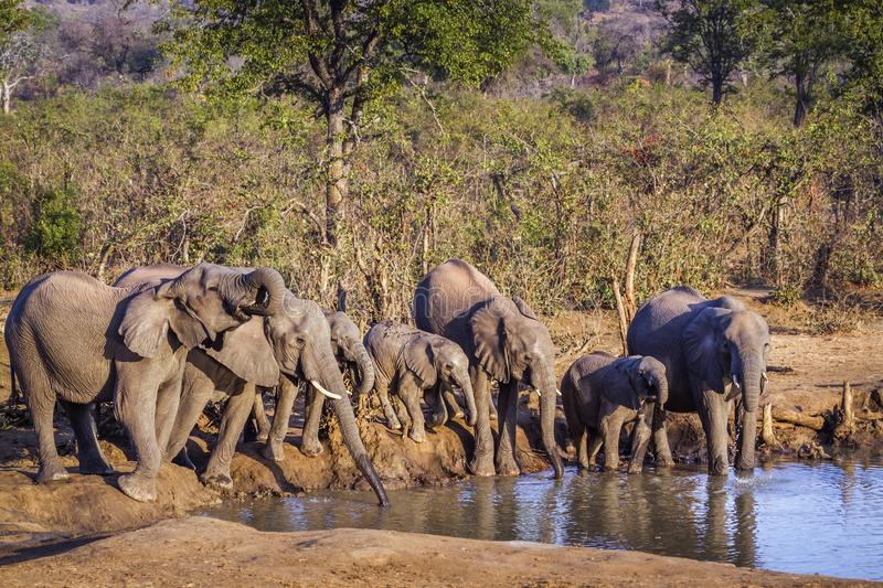 African bush elephant in Kruger National park, South Africa. Specie Loxodonta africana family of Elephantidae royalty free stock photography