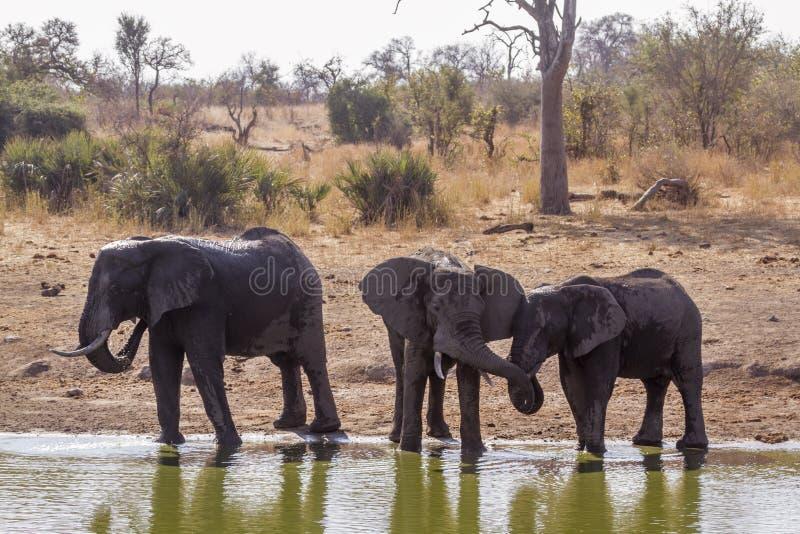 African bush elephant in Kruger National park, South Africa. Specie Loxodonta africana family of Elephantidae stock photos