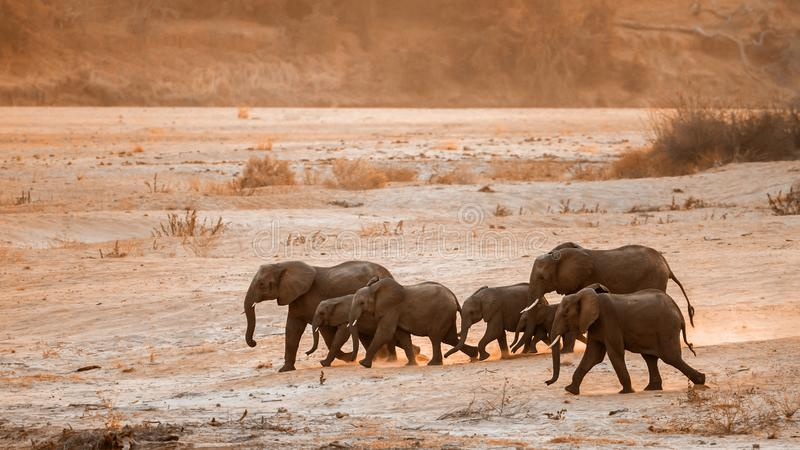African bush elephant in Kruger National park, South Africa. Specie Loxodonta africana family of Elephantidae stock photography