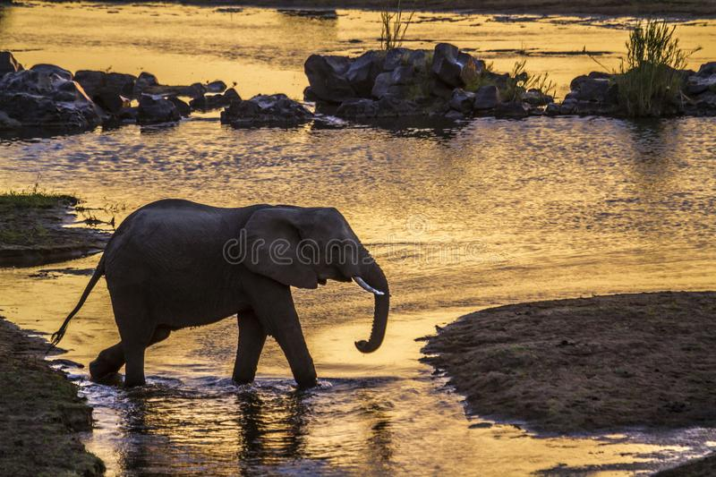 African bush elephant in Kruger National park, South Africa. Specie Loxodonta africana family of Elephantidae royalty free stock photos