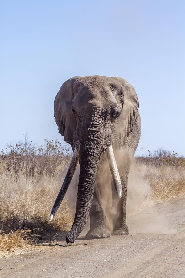 African bush elephant in Kruger National park, South Africa. Specie Loxodonta africana family of Elephantidae royalty free stock photo
