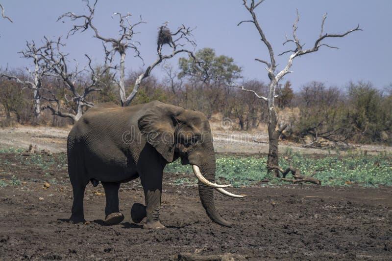 African bush elephant in Kruger National park, South Africa. Specie Loxodonta africana family of Elephantidae stock image