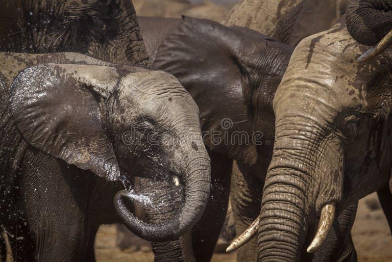 African bush elephant in Kruger National park, South Africa. Specie Loxodonta africana family of Elephantidae stock photo