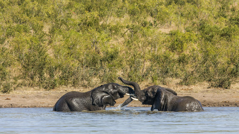 African bush elephant in Kruger Park, South Africa. Two wild african bush elephants playing in the river, in Kruger park, South Africa royalty free stock photo