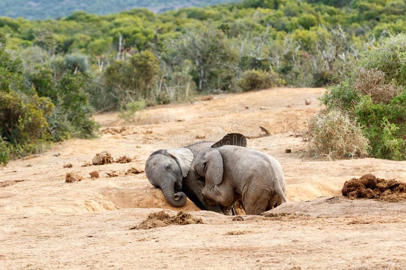 African Bush Elephant stock image