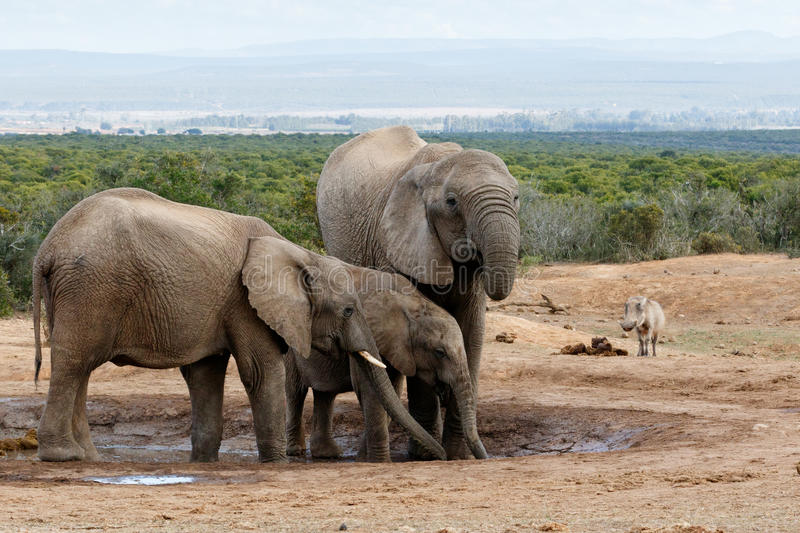 African Bush Elephant stock photo
