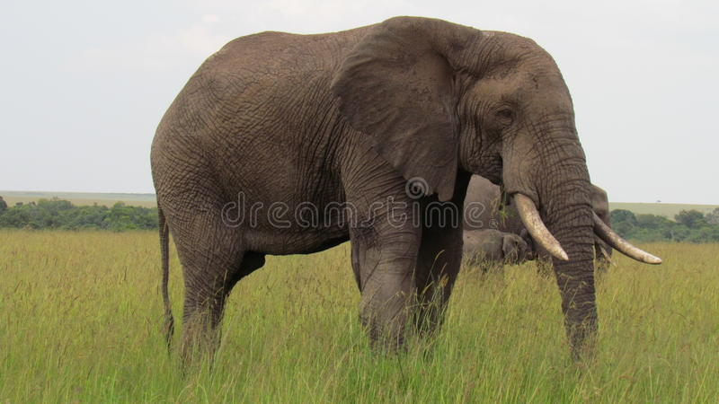 The african bush elephant stock photography