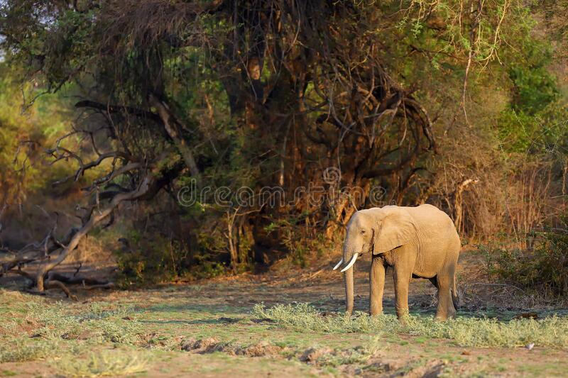 The African bush elephant Loxodonta africana, also known as the African savanna elephant, adult female elephant standing on edge royalty free stock photography