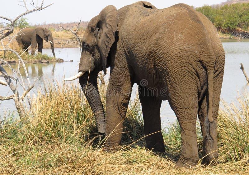 African bush elephant, Loxodonta africana stock photo