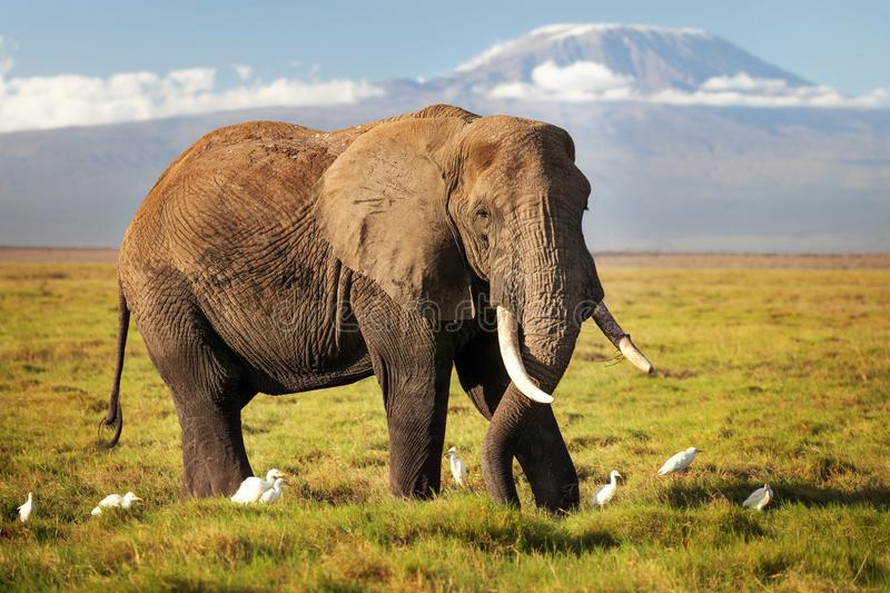 African bush elephant Loxodonta africana walking on savanna, w. Ith white Cattle Egret Bubulcus ibis birds, with mount Kilimanjaro top snow covered in background royalty free stock photography