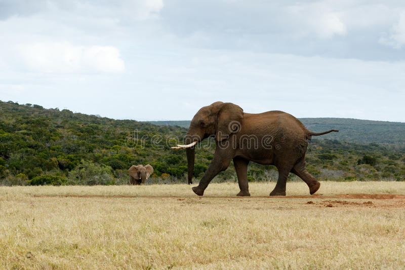 African Bush Elephant RUN stock photo